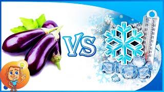 Eggplant can be fr๐zen   How to freeze eggplant   Experiment: Eggplant VS Freezing