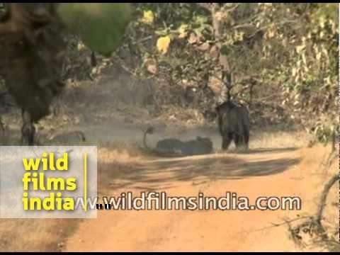 Asiatic lion (Panthera leo persica) pair fight in Gir
