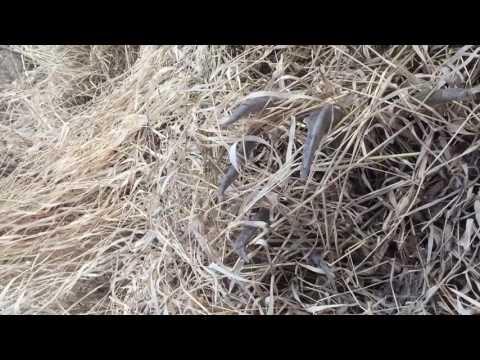 Record breaking 256 inch Saskatchewan whitetail deadhead part 1