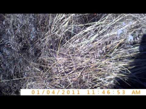 Southern Indiana Crawford County Quail Hunt 1/4/11