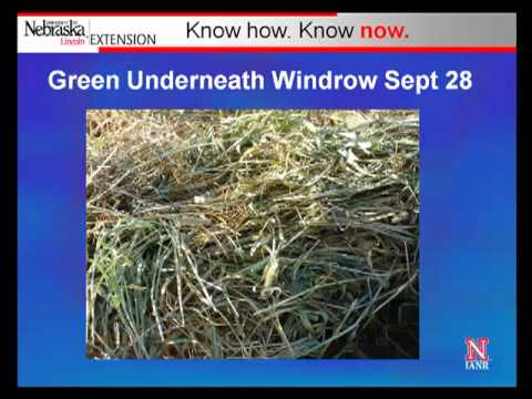 Windrow Grazing Research Part 2