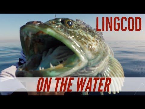 Live Mackerel For Lingcod & Vertical Jigging Megabass Maki Jigs