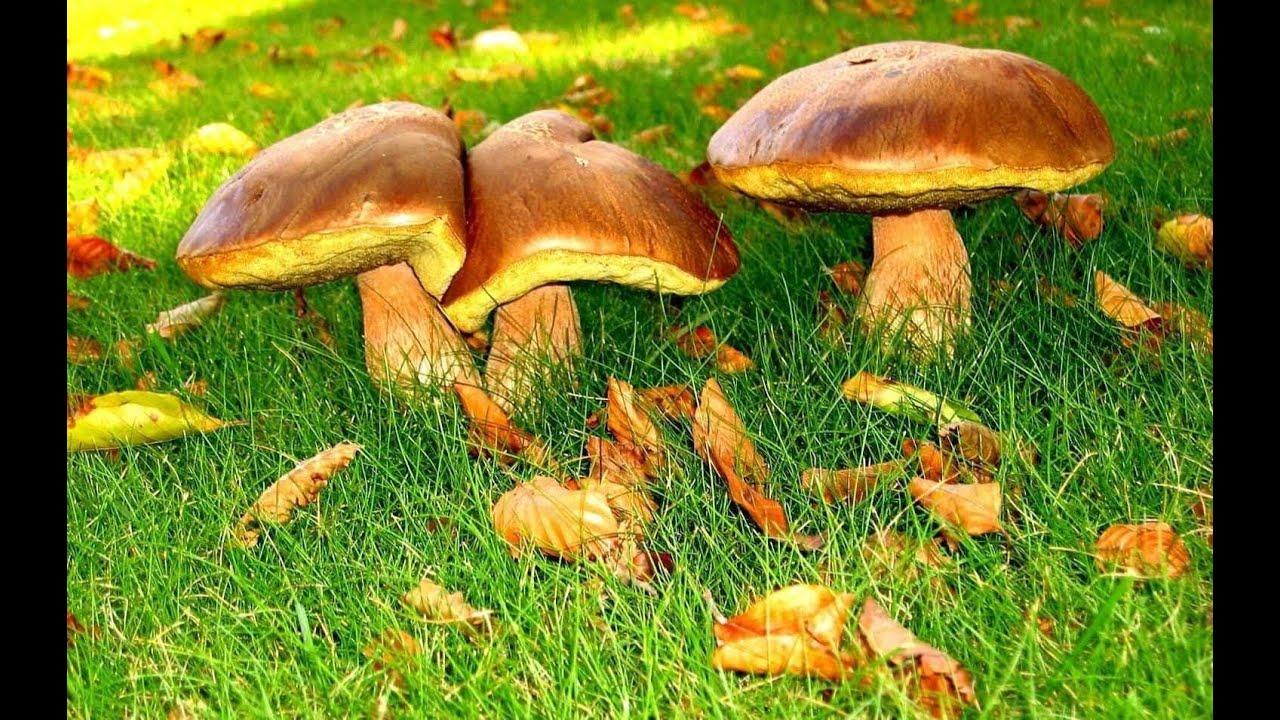 белый гриб в башкирии