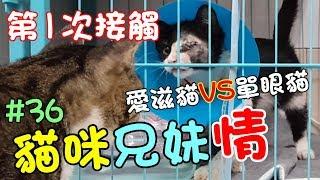 『貓咪兄妹情』愛滋貓VS單眼貓 (片尾彩蛋) Cat Story#36