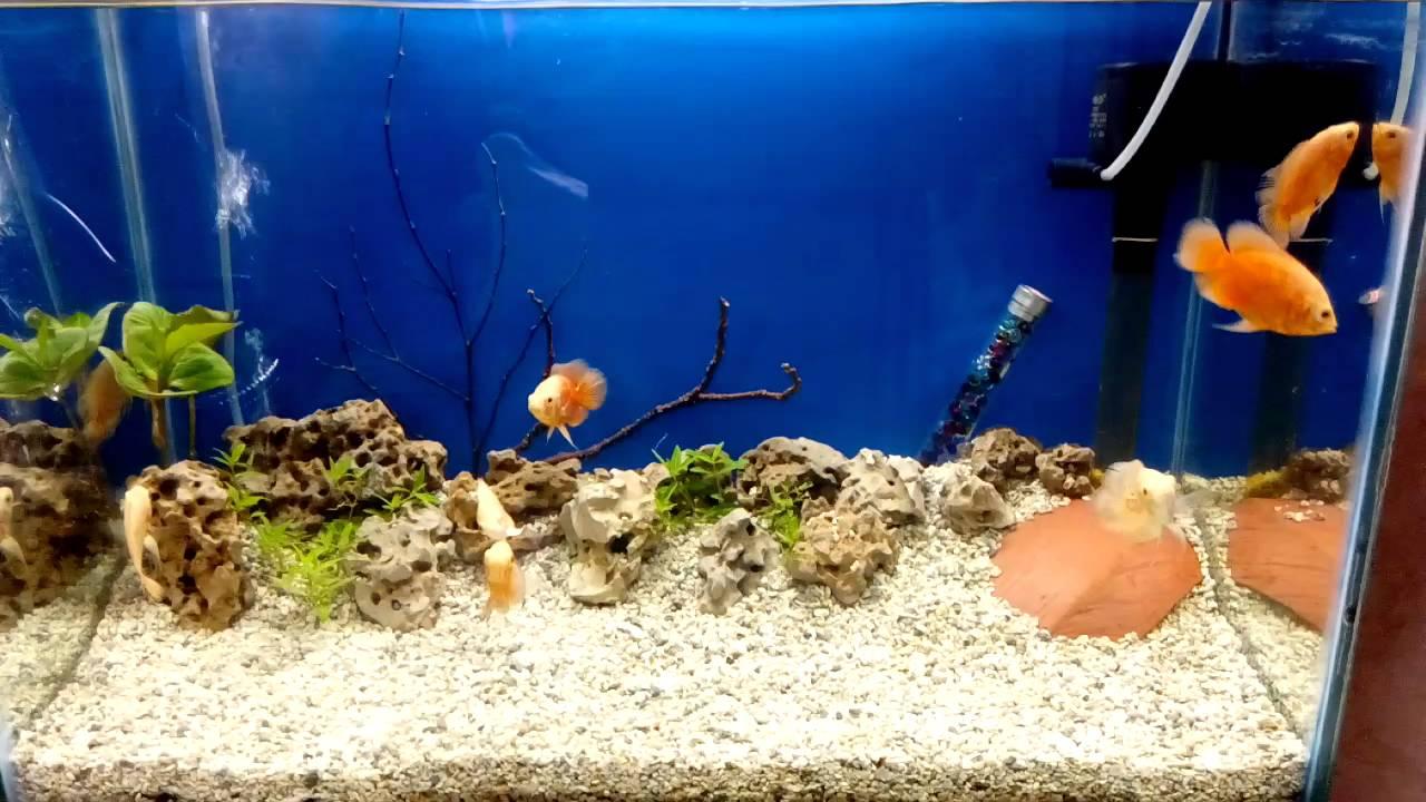 Oscar Fish Tank Setup For Albino And Mosaic Oscar