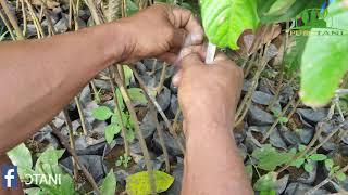 Bibit  tanaman Rambutan Binjai unggul