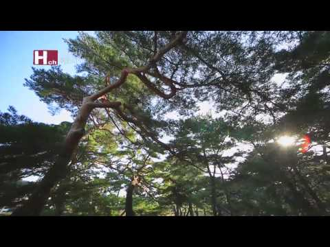 [TVZONE]Hadong Pine Forest, a grove of pine trees on the sand hill