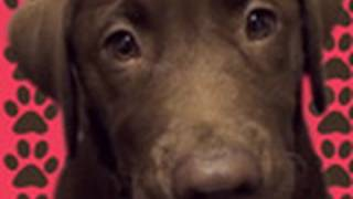 Cute Chocolate Lab Puppy Playing With Toys (ball And Rope)