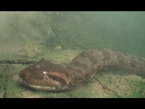 Anacondas: Tracking Elusive Giants in Brazil