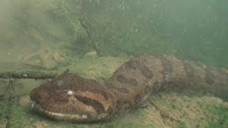 Anacondas:_Tracking_Elusive_Giants_in_Brazil