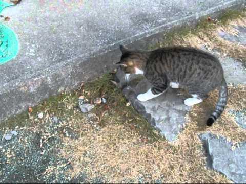 Japanese Cat Youtube