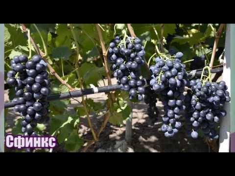 Виноград Сфинкс - вкусный и надежный