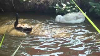 Cinta Segitiga antara Bebek, Angsa dan Entog