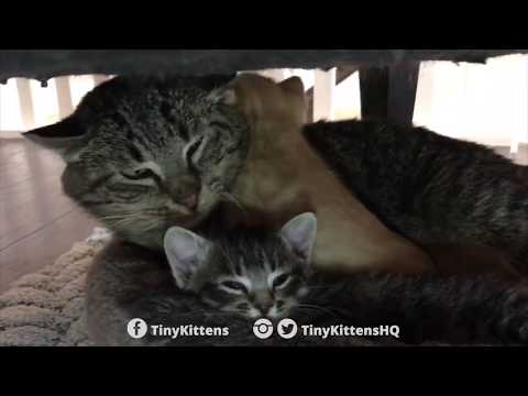 Thumbnail: Ancient battle-scarred feral cat meets tiny kittens