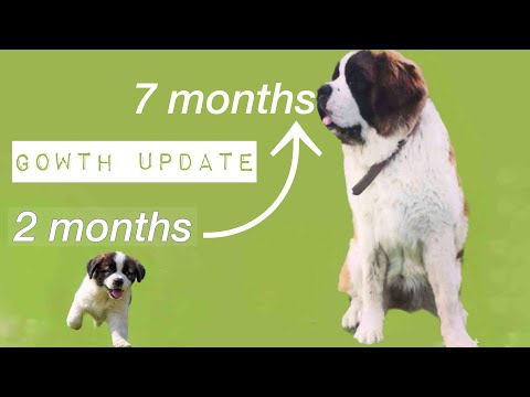 Saint Bernard puppy growing up