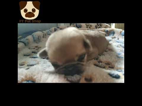 Chó Pug Con 10 Ngày Tuổi Trông Thế Nào
