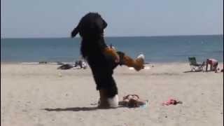 Собака на пляже зажигает...