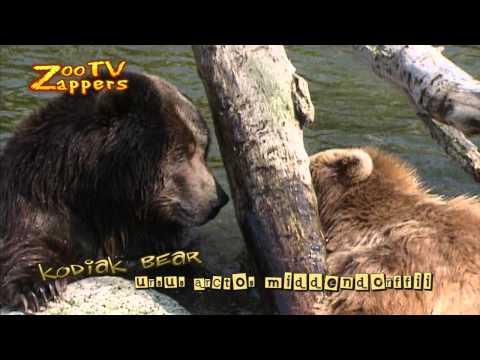 Kodiak bear - kodiakbeer - ursus arctos middendorffii