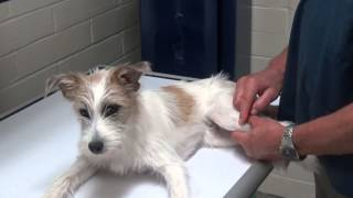 Limping Dog: Growth Plate Injury in a Puppy