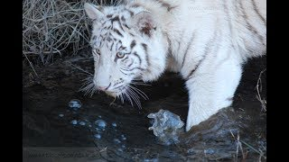 The white Tigress Shine growing up