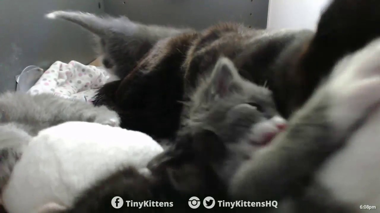 Our new tiny rescue kittens are SO loud TinyKittens