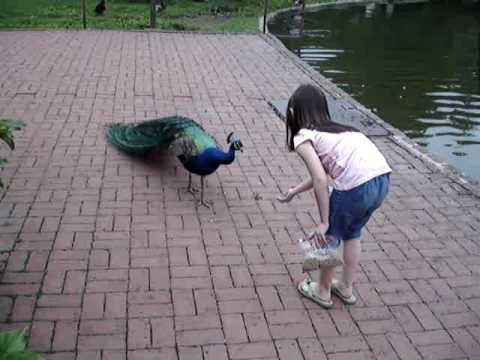 Peacock Scare