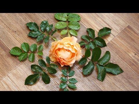 На листьях розы семь листочков.  Это дичок?