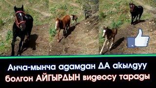 Укмуш КАБАР: Акылдуу АЙГЫР аттын ВИДЕОСУ тарады | Элдик Роликтер | Акыркы Кабарлар