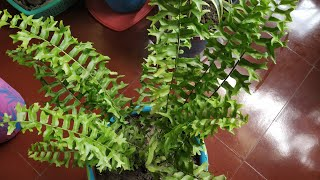 Care of Boston fern plant ....in balcony