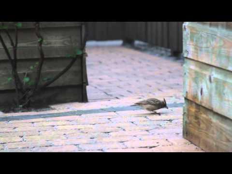 Vroege Vogels - Kuifleeuwerik in de tuin