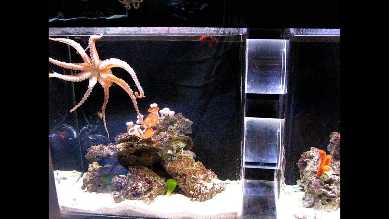 Littlebit octopus vulgaris not so little any more youtube for Octopus fish tank