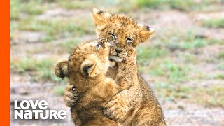 Baby Lions Cubs and Hyena Cubs Having Fun
