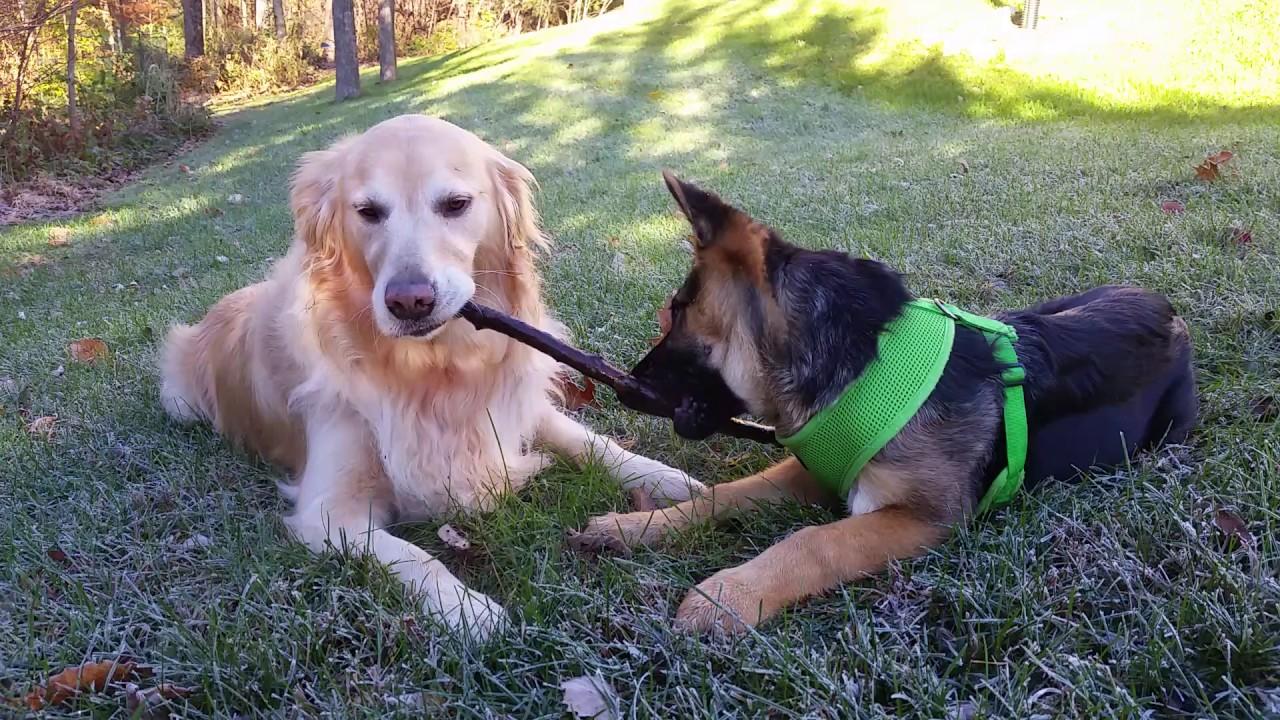 Puppy Dog Sharing A Stick Together Golden Retriever German