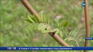 Озеленение Тюмени