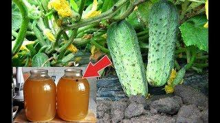 Налейте это под огурцы и зеленцы будут расти на глазах! Чем подкормить огурцы для ускоренного роста?