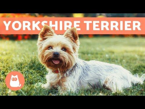 Yorkshire terrier - Cuidados y adiestramiento