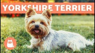 Yorkshire terrier  Cuidados y adiestramiento
