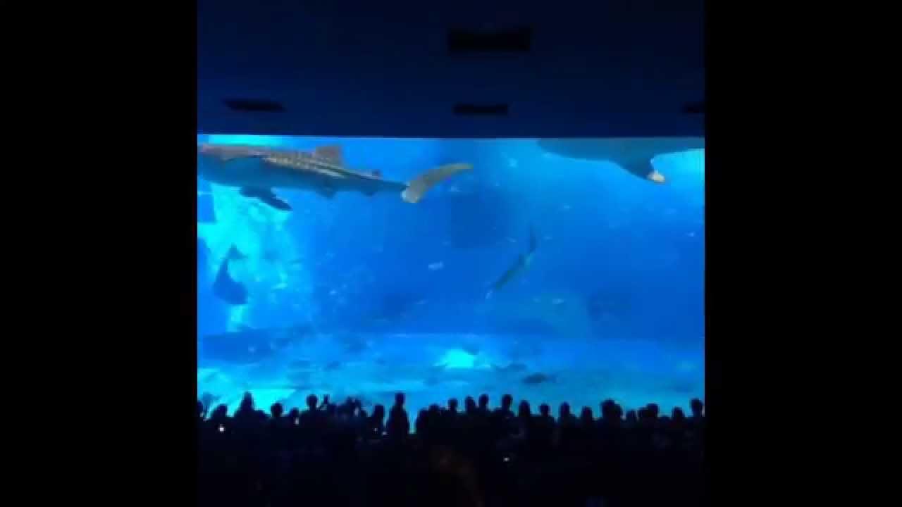 Vine Kuroshio Sea Churaumi Aquarium