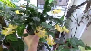 Цветение Шлюмбергеры и Табернемонтаны