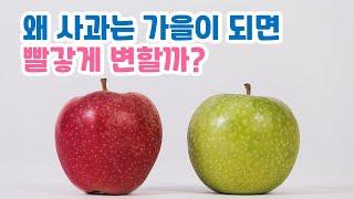 누가 사과를 빨갛게 만들었을까? | 가을에 열매가 익는…