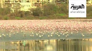 صباح العربية |  ظهور دبابير قاتلة في واشنطن والفلامينغو يجتاح مومباي