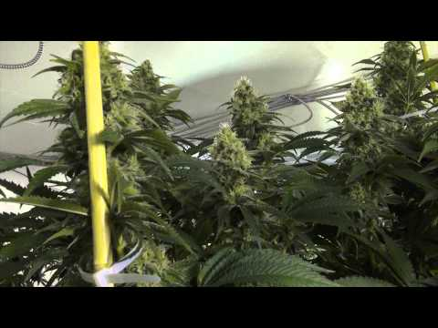 How To Stake Your Cannabis Plants