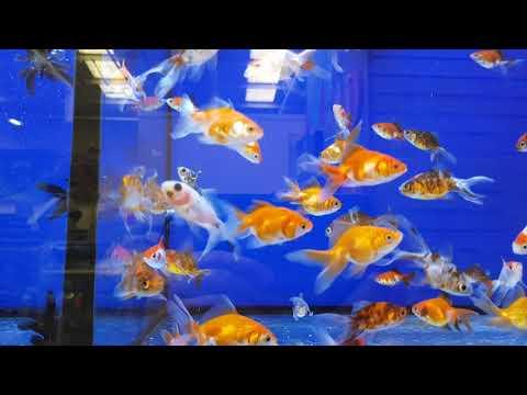 NEW COLD WATER FISH AT PETS AT HOME! 🐟