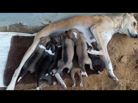 Dog/Cat/Goat Moms Feeding Milk to Their Cute Babies