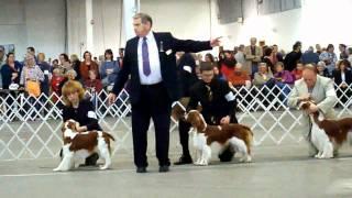 Welsh Springer Judging - 2011 Phila. Kennel Club Show