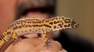 5 Cool Facts about Leopard Geckos | Pet Reptiles