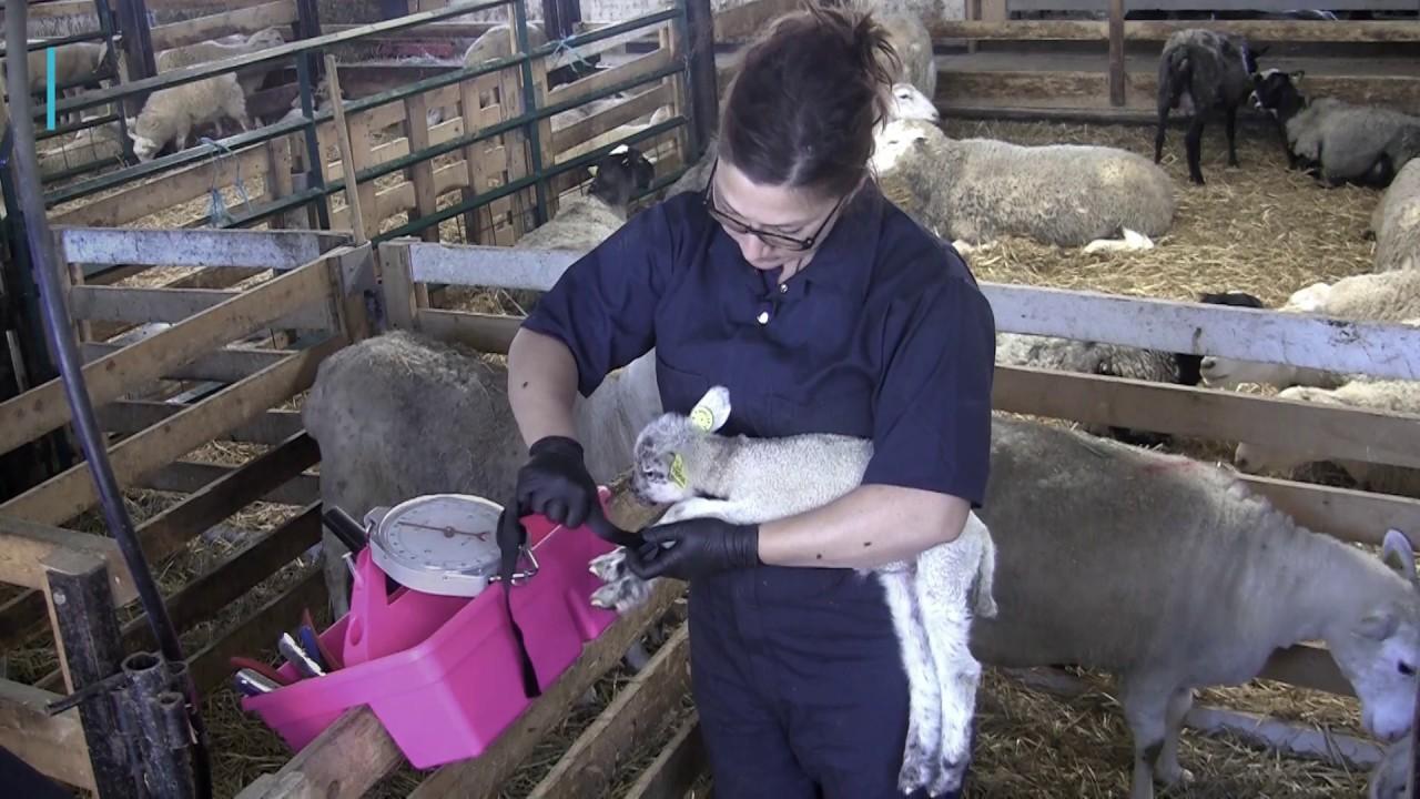 Injection de dextrose à un agneau en hypothermie