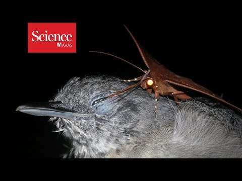 Snippet: Moth drinks tears from sleeping antbird's eyes