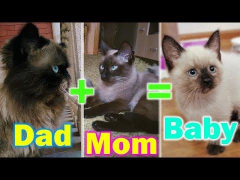 Persian Cat MİX Siamese Cat