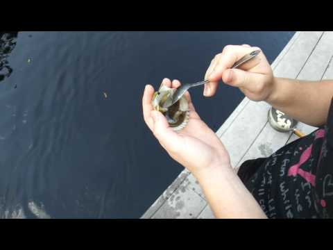 Best Way to Clean Bay Scallops